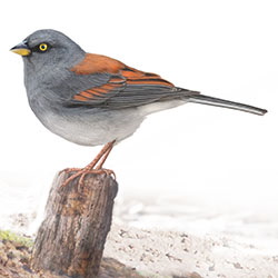 Yellow-eyed Junco Body Illustration.jpg