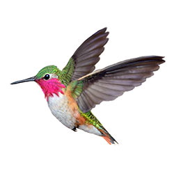 Bumblebee Hummingbird Flight Illustration.jpg