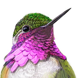 Bumblebee Hummingbird Head Illustration.jpg