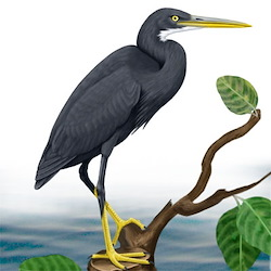 Western Reef-Heron Body Illustration_2