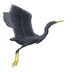 Western Reef-Heron Flight Illustration_2