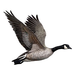 Cackling Goose Flight Illustration