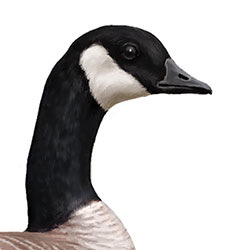 Cackling Goose Head Illustration