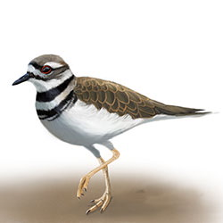 Killdeer Body Illustration.jpg