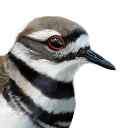 Killdeer Head Illustration.jpg