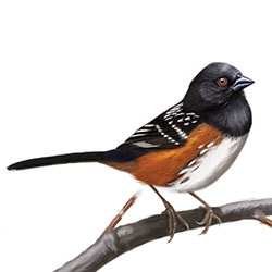 Spotted Towhee Body Illustration