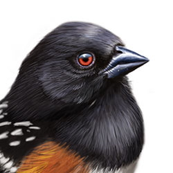 Spotted Towhee Head Illustration
