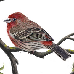 House Finch Body Illustration