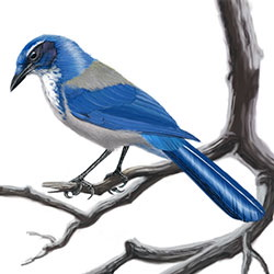 California Scrub-Jay Body Illustration.jpg