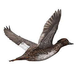 Common Goldeneye Flight Illustration