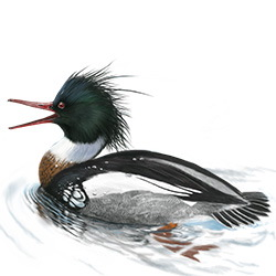 Red-breasted Merganser Body Illustration