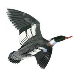 Red-breasted Merganser Flight Illustration