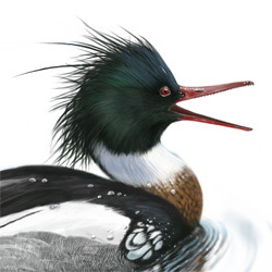 Red-breasted Merganser Head Illustration
