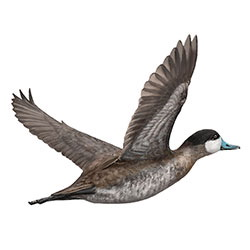 Ruddy Duck Flight Illustration