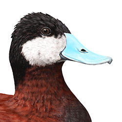 Ruddy Duck Head Illustration