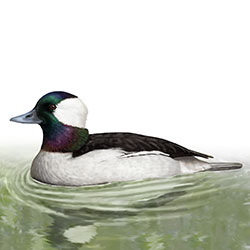 Bufflehead Body Illustration