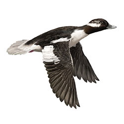 Bufflehead Flight Illustration