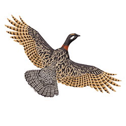 Black Francolin Flight Illustration