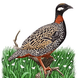 Black Francolin Body Illustration