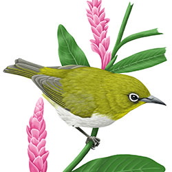 Japanese White-eye Body Illustration