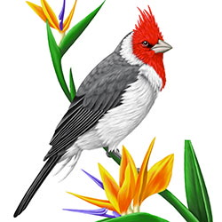 Red-crested Cardinal Body Illustration