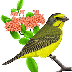 Yellow-fronted Canary Body Illustration