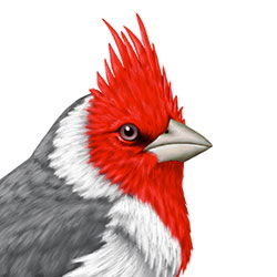 Red-crested Cardinal Head Illustration