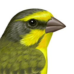 Yellow-fronted Canary Head Illustration