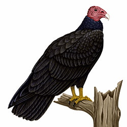 Turkey Vulture Body Illustration