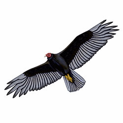 Turkey Vulture Flight Illustration