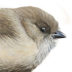 Bushtit Head Illustration