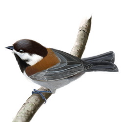 Chesnut-backed Chickadee Body Illustration