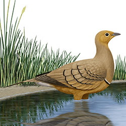 Chestnut-bellied Sandgrouse Body Illustration