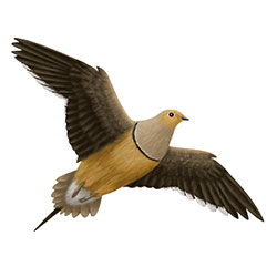 Chestnut-bellied Sandgrouse Flight Illustration