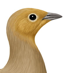 Chestnut-bellied Sandgrouse Head Illustration