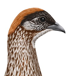 Erckel's Francolin Head Illustration