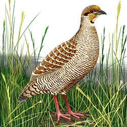 Gray Francolin Body Illustration