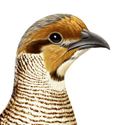 Gray Francolin Head Illustration