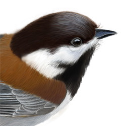 Chestnut-backed Chickadee Head Illustration