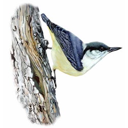 Pygmy Nuthatch Body Illustration