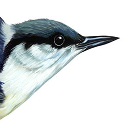 Pygmy Nuthatch Head Illustration