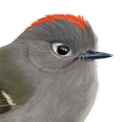 Ruby-crowned Kinglet Head Illustration