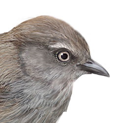 Wrentit Head Illustration.jpg