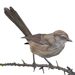 Wrentit Body Illustration.jpg