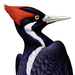 Ivory-billed Woodpecker Head Illustration