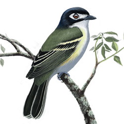 Black-capped Vireo Body Illustration