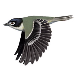 Black-capped Vireo Flight Illustration