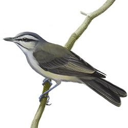 Black-whiskered Vireo Body Illustration