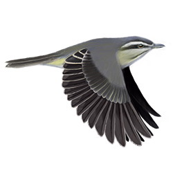 Black-whiskered Vireo Flight Illustration