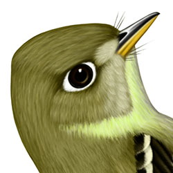 Cordilleran Flycatcher Head Illustration